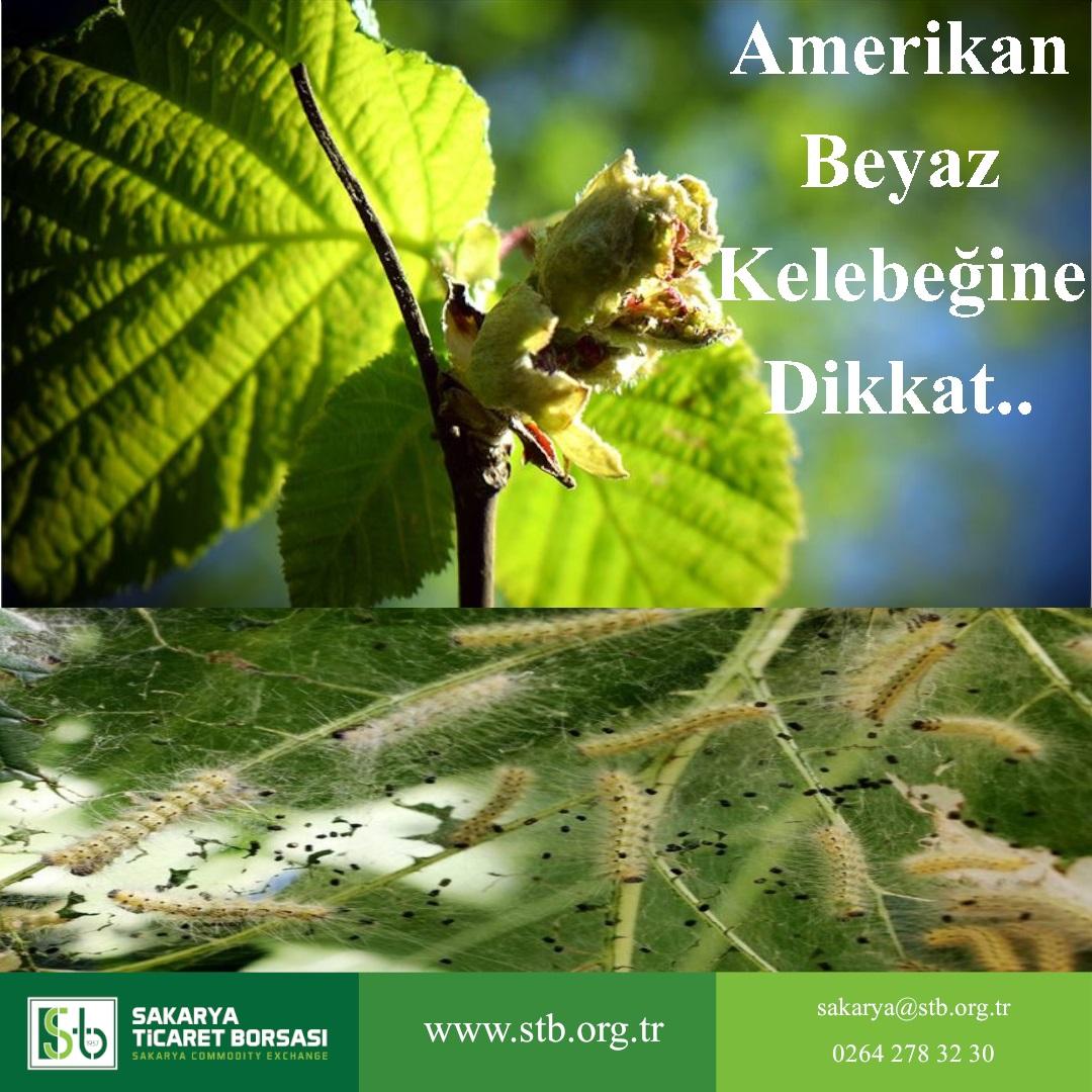 Amerikan Beyaz Kelebeğine Dikkat